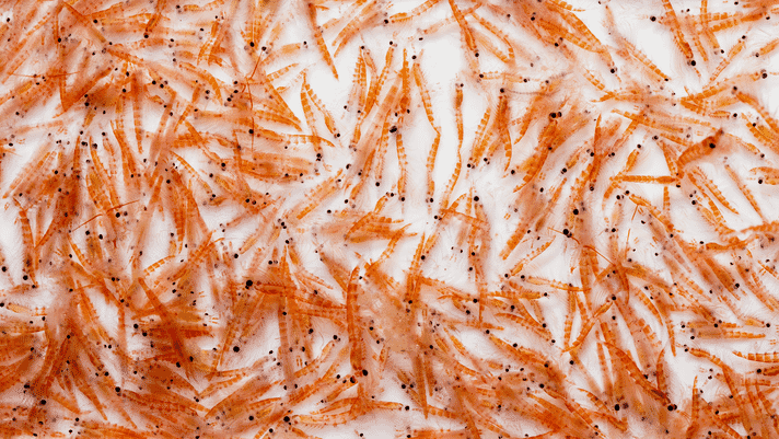 In for the krill thumbnail image