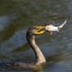 US fish farmers offered hope in the fight against predatory cormorants thumbnail image