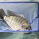 The global status of tilapia production and marketing under Covid-19 conditions thumbnail image