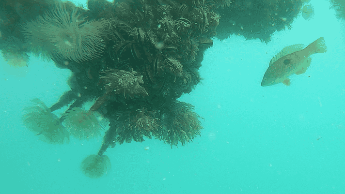 Assessing the habitat benefits of kelp aquaculture in New Zealand and Maine thumbnail image