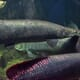 Salt shown to improve arapaima farms thumbnail image