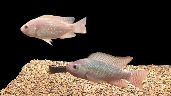 The use of CRISPR in aquaculture thumbnail image