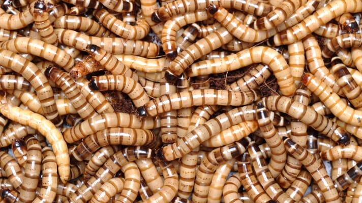Washington mealworm start-up closes A1 funding thumbnail image