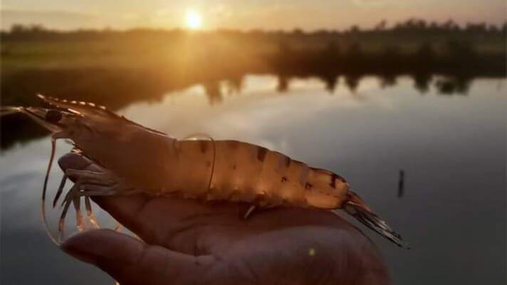 Exploring the use of probiotics in shrimp farms thumbnail image