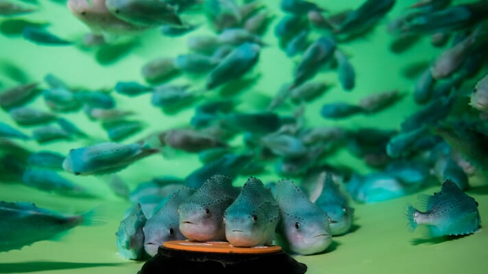 Cleanerfish may not be suitable for de-lousing offshore salmon farms thumbnail image