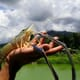 Giant river prawns: a fresh approach for global shrimp farming? thumbnail image