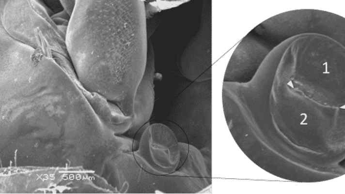 A dramatic insight into how white spot infects shrimp thumbnail image
