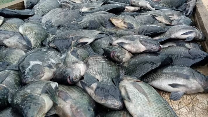 Ghana's catfish and tilapia farmers vie for supremacy thumbnail image