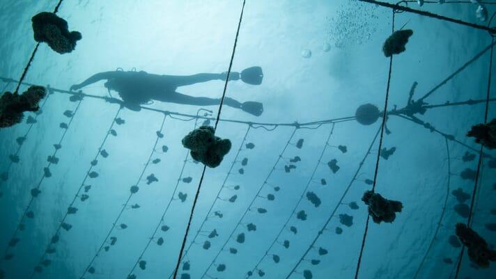 Restorative aquaculture: Marine Cultures thumbnail image
