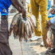 Feed and seed: addressing challenges in Zambian aquaculture thumbnail image