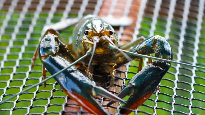 The Singaporean firm that aims to transform Asia's crayfish sector thumbnail image