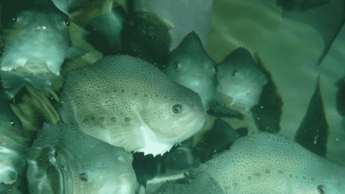 Researchers launch lumpfish welfare tool thumbnail image