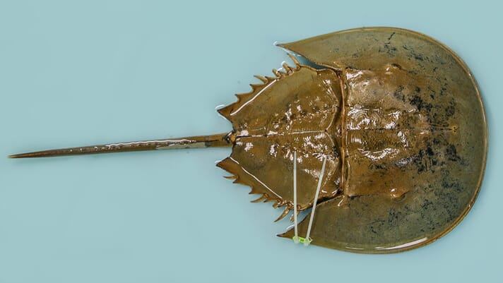 Hope for culturing horseshoe crabs gains ground thumbnail image