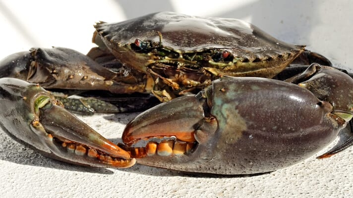 Where do shellfish fit in to the future food framework? thumbnail image