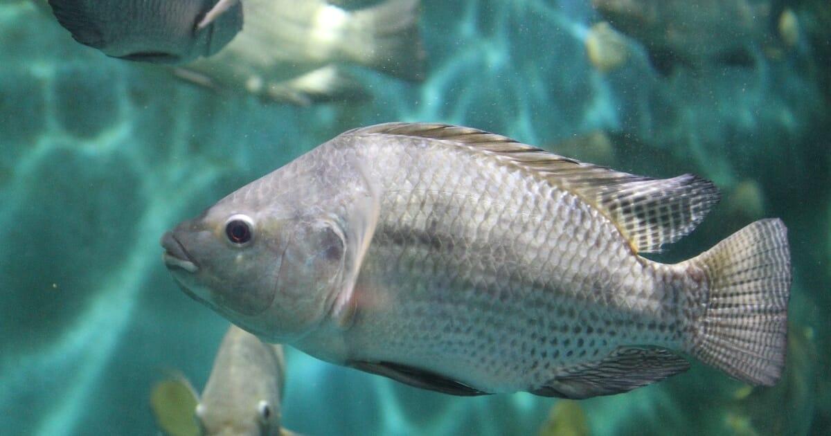 Rediscovering remedies: new methods for treating velvet disease   The Fish  Site