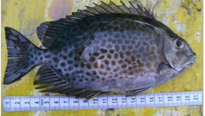 Assessing the potential of rabbitfish farming in the Philippines thumbnail image