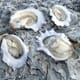 Genomic support for Canadian oyster sector thumbnail image