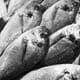 Does aquaculture have a future in the EU? thumbnail image