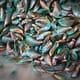 New Zealand set for major mussel aquaculture expansion thumbnail image