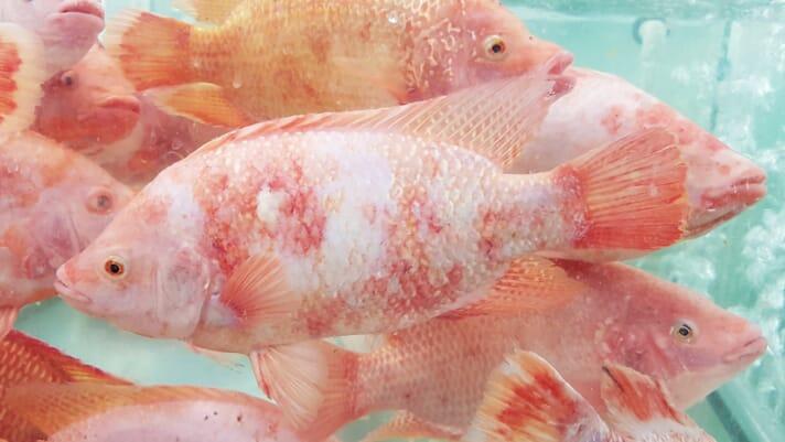 ASC ramps up fish welfare agenda thumbnail image