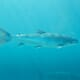 Funding to address wild salmon decline thumbnail image
