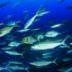 Fish Born in Larger Groups More Sociable thumbnail image