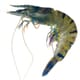 Hepatopancreatitis Reported on Australian Prawn Farm thumbnail image
