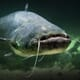 Weekly Overview: Project Investigates More Efficient European Catfish Farming Methods thumbnail image