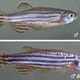 Researchers Achieve Larger Fish but Without Extra 'Fat' thumbnail image