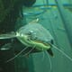 AquacultureEurope2016: Are Coupled Aquaponic Systems Good for Catfish Welfare? thumbnail image