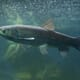 Ruling welcomed by US aquaculture industry thumbnail image