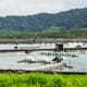 Report questions the economic and environmental credentials of shrimp farms thumbnail image