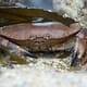Orkney crab enters MSC assessment thumbnail image