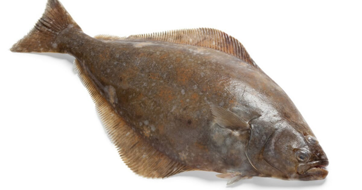 Alaska Fish Factor: Pacific Halibut Stocks On The Rise | The Fish Site