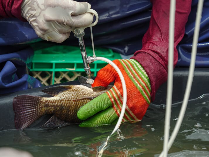 Tilapia tend to be treated against bacterial infections through the use of injectable vaccines or antibiotics. An oral vaccine, delivered through feed, would be a popular alternative to both