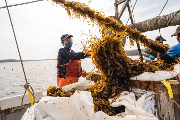 Harvesting skinny kelp off Chebeague Island in Maine