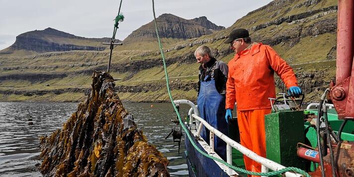 Inspecting a healthy crop of sugar kelp