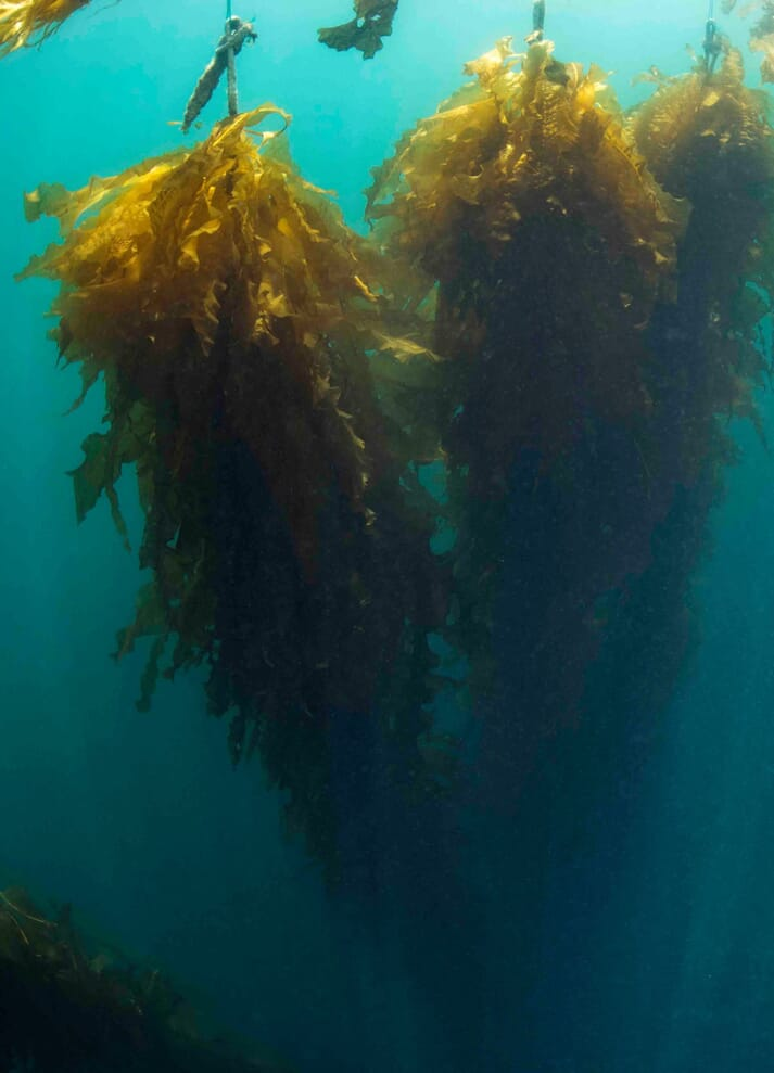 Some of Ocean Rainforest's seaweed lines, off the Faroe Islands
