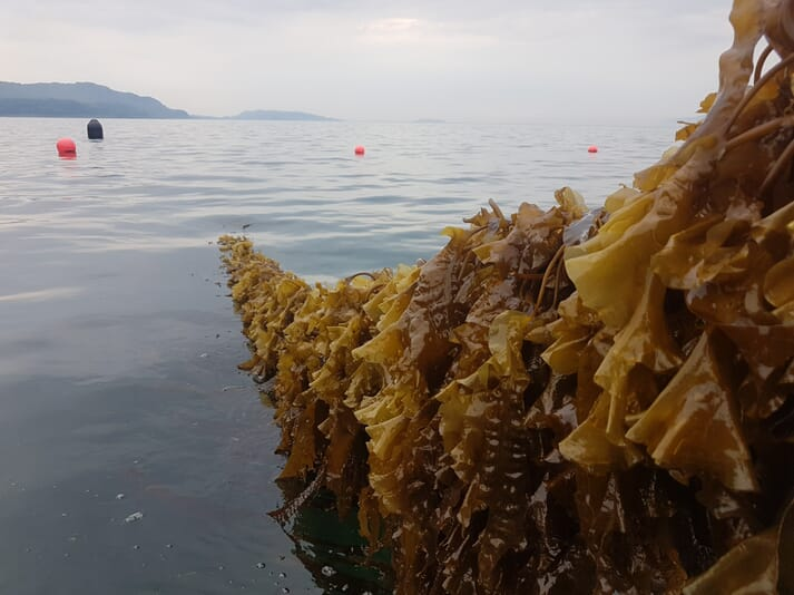 Shore had its first harvests of sugar kelp (pictured) and Atlantic wakame earlier this year
