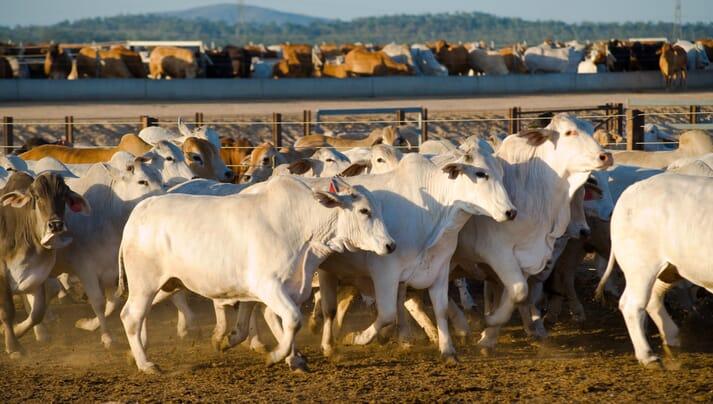 Brahman cattle in a feedlot