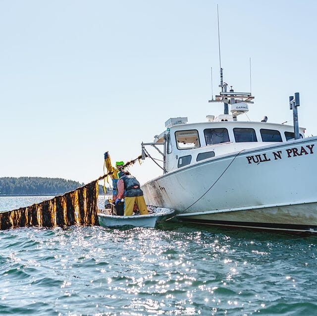 Fishermen are well placed to capitalise on the seaweed sector, as kelp grows best in the off-season for lobsters