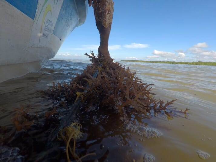 The seaweed is grown on long lines of rope