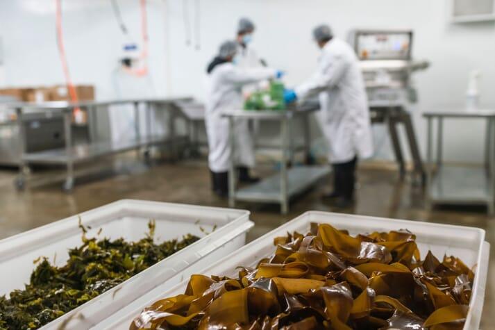 Packaging processed kelp in Saco, Maine