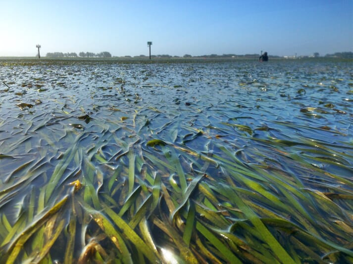 Seagrass meadows can reduce ocean acidification by 30 percent