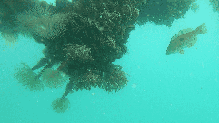 Mussel lines create a popular habitat for fish such as this spotty, in New Zealand