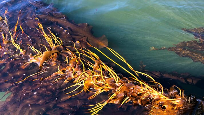 A strand of sugar kelp being farmed off the coast of New Hampshire