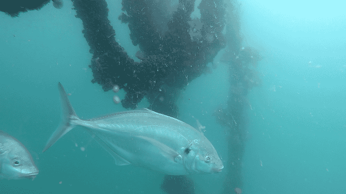 A white trevally beside a mussel line in northern New Zealand