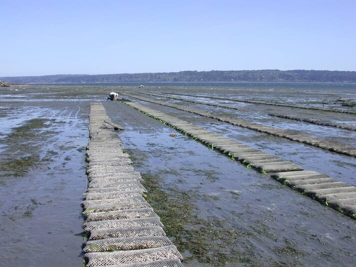 Bag-grown oysters at a site run by Baywater Shellfish Company - which is run by the family of Pacific Hybreed's Joth Davis
