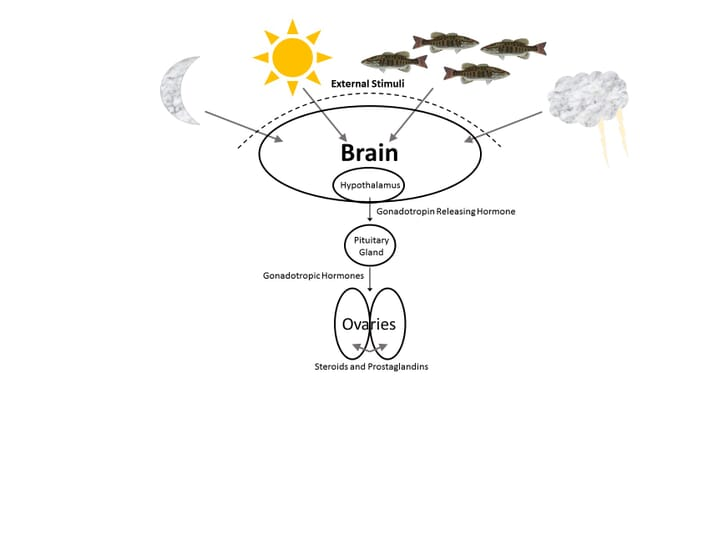Diagram explaining the maturation process in finfish
