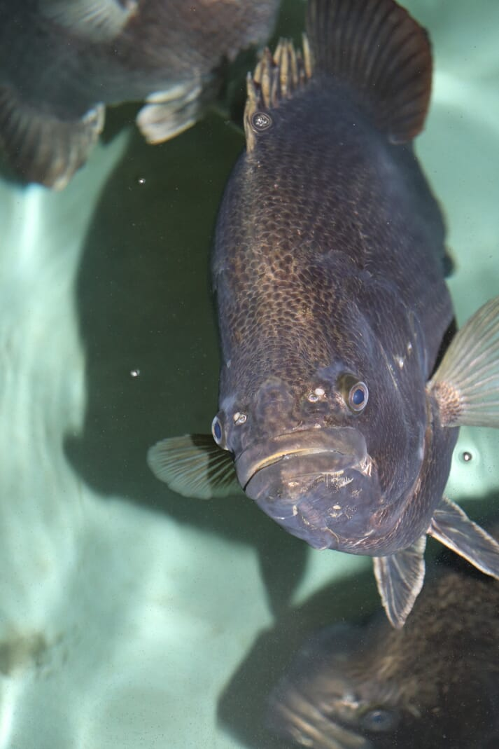 Tripletail are currently being produced at the Thad Cochrane Marine Aquaculture Research Centre